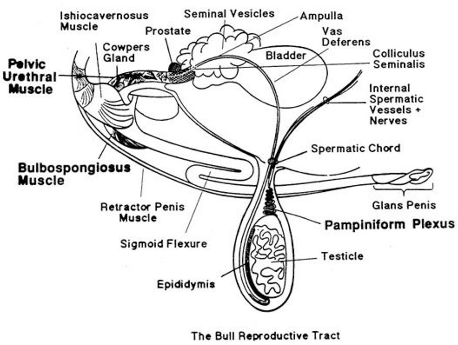 Ceres Industries - A diagram showing the reproductive tract of the bull